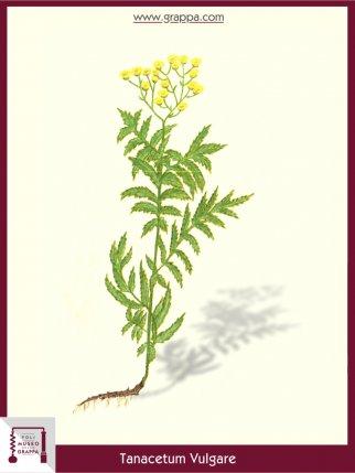 Tansy (Tanacetum Vulgare)