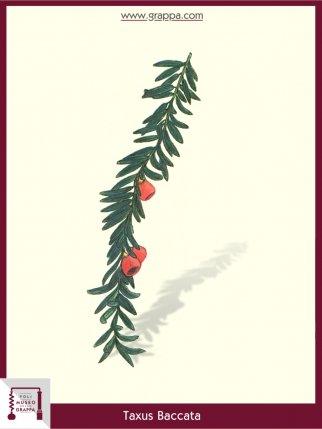 English yew, European yew (Taxus Baccata)