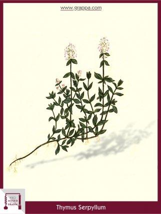 Breckland Thyme (Thymus Serpyllum)