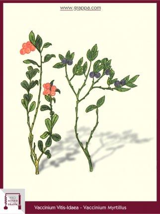 Bilberry, Lingonberry (Vaccinium Myrtillus)