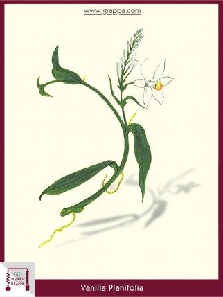 Flat-leaved Vanilla (Vanilla Planifolia)