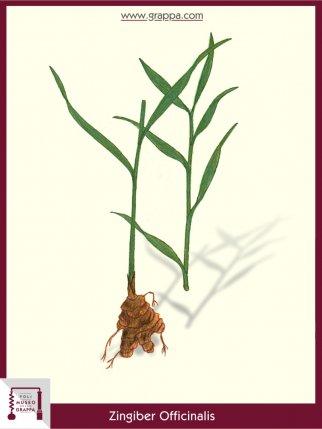 Ingwer, Immerwurzel, Ingwerwurzel (Zingiber Officinalis)